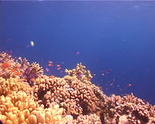 Ocean scenery hard corals, anthias, on shallow coral reef, UP12341 Stock Footage
