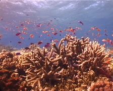 Ocean scenery staghorn, anthias, on shallow coral reef, UP12343 Stock Footage