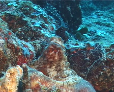 Common reef octopus courting, Octopus cyanea, UP12365 Stock Footage