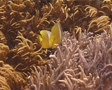 Klein's butterflyfish feeding, Chaetodon kleinii, UP12374 Stock Footage