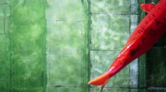 Soft focused big red Koi carp fish, resting on old underwater pool stairs - stock footage