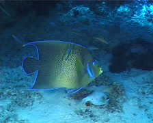 Semicircle angelfish cleaning and being cleaned, Pomacanthus semicirculatus, Stock Footage