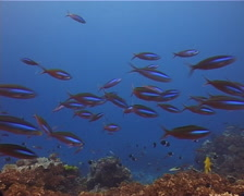 Bluestreak fusilier swimming and schooling, Pterocaesio tile, UP12380 Stock Footage