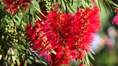 Crimson Bottlebrush Red Flowers - stock footage