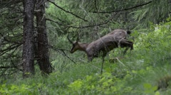 Alpine chamois descending mountain slope in forest Stock Footage