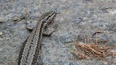 Common wall lizard sunning on rock before dashing away Stock Footage