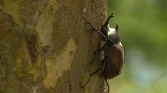 Close up of beetle on a tree trunk, Japanese rhinoceros beetle Stock Footage
