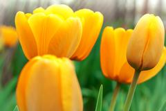Several yellow tulips - stock photo
