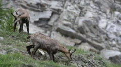 Alpine chamois looking curiously down mountain slope in the Alps Stock Footage