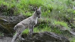 Cute young Alpine ibex (Capra ibex) on rock in the Alps Stock Footage