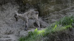 Resting young Alpine ibex getting up and stretching limbs in the Alps Stock Footage