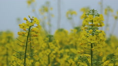 Close up of gentle blooming rapessed crop flowers Stock Footage