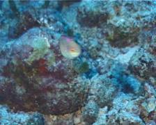 Red-margined wrasse swimming, Cirrhilabrus rubrimarginatus, UP12421 Stock Footage
