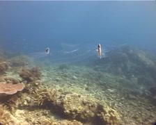 Pelagic gastropod mollusc swimming, Pterotrachea coronata, UP12424 - stock footage