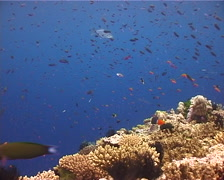 Ocean scenery anthias, current, on shallow coral reef, UP12416 Stock Footage