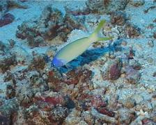Bluehead tilefish hovering, Hoplolatilus starcki, UP12422 Stock Footage