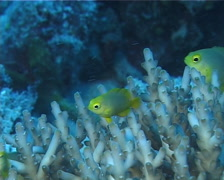 Adults and juveniles undescribed Fiji yellowtail damsel feeding and schooling, Stock Footage