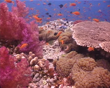 Ocean scenery soft coral, anemone, anthias, plate coral, on shallow coral reef, Stock Footage