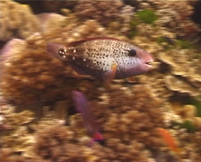 Female adult Bullethead parrotfish feeding, Chlorurus sordidus, UP12451 Stock Footage