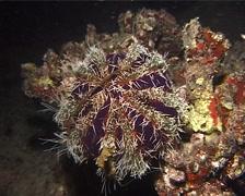 Short spine sea urchin walking at night, Tripneustes gratilla, UP12465 Stock Footage
