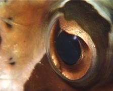 Black-blotched porcupinefish sleeping at night, Diodon liturosus, UP12463 Stock Footage