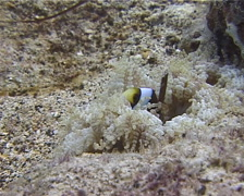 Juvenile Orangefin anemonefish, Amphiprion chrysopterus, UP12476 Stock Footage