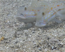 Orange-dashed goby feeding on sand and coral rubble, Valenciennea puellaris, Stock Footage