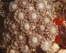 Unidentified daytime coral at night, Goniopora sp. Video 12489. Stock Footage