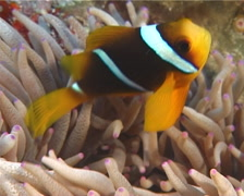Orangefin anemonefish swimming, Amphiprion chrysopterus, UP12506 Stock Footage