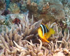 Orangefin anemonefish swimming, Amphiprion chrysopterus, UP12507 Stock Footage