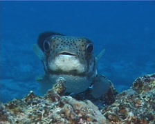 Spotted porcupine fish hovering, Diodon hystrix, UP12590 Stock Footage