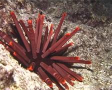 Red pencil urchin at night, Heterocentrotus trigonarius, UP12594 Stock Footage