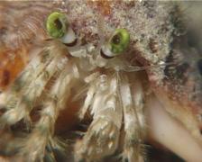 Banded eyestalk hermit crab sniffing at night, Dardanus pedunculatus, UP12614 Stock Footage
