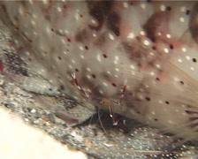 Blue-legged boxer shrimp walking at night, Stenopus cyanoscelis, UP12618 Stock Footage