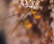 Yellow coral hermit shrimp feeding at night, Paguritta corallicolla, UP12625 Stock Footage