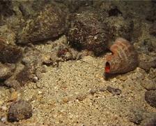 Longeye hermit crab walking at night, Dardanus lagopodes, UP12678 Stock Footage