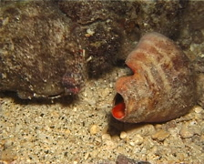 Longeye hermit crab behaving strangely at night, Dardanus lagopodes, UP12677 Stock Footage