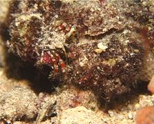 Longeye hermit crab walking at night, Dardanus lagopodes, UP12679 Stock Footage