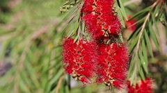 Red Bottlebrush Flowers Stock Footage