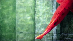 Soft focused big red Koi carp fish, resting on old underwater pool stairs Stock Footage