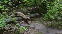European pine marten running fast over fallen tree trunk in forest Stock Footage