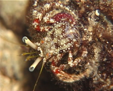Longeye hermit crab walking at night, Dardanus lagopodes, UP12680 Stock Footage