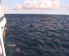 Humpback whale, Megaptera novaeangliae, UP12698 Stock Footage