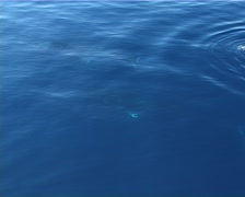 Humpback whale, Megaptera novaeangliae, UP12717 Stock Footage
