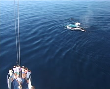Humpback whale, Megaptera novaeangliae, UP12718 Stock Footage