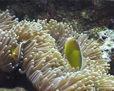 Tongan skunk anemonefish swimming, Amphiprion pacificus, UP12761 Stock Footage