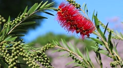 Red Bottlebrush Flower with Blue Sky Background Stock Footage