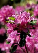 Pink azalea Stock Photos