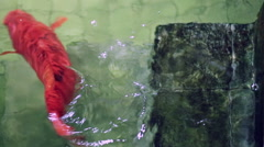 Soft focused big red Koi carp fish, swimming away old underwater pool stairs Stock Footage