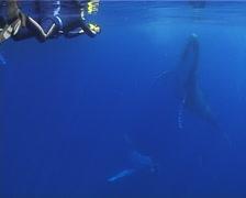 Humpback whale, Megaptera novaeangliae, UP12773 Stock Footage